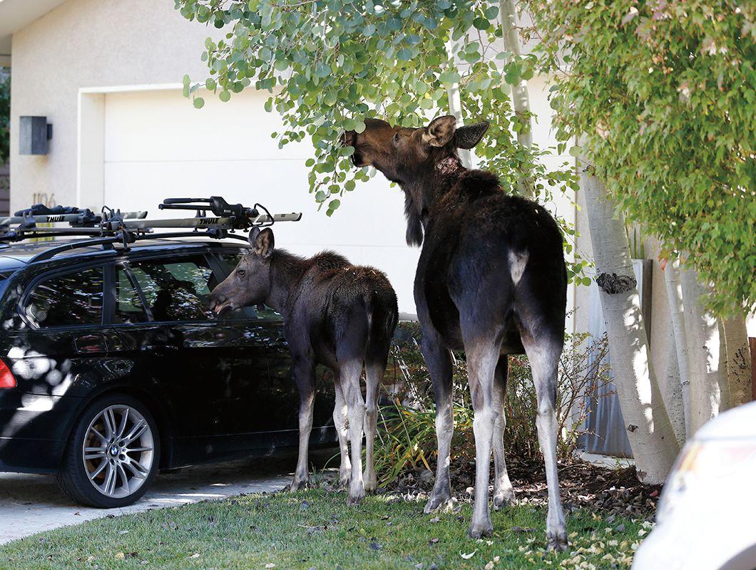 Moose small 11 eoezoc