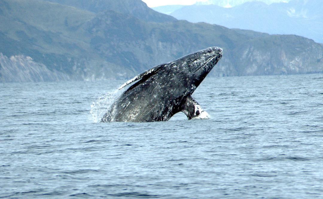 Gray whale merrill gosho noaa2 crop hzw73i