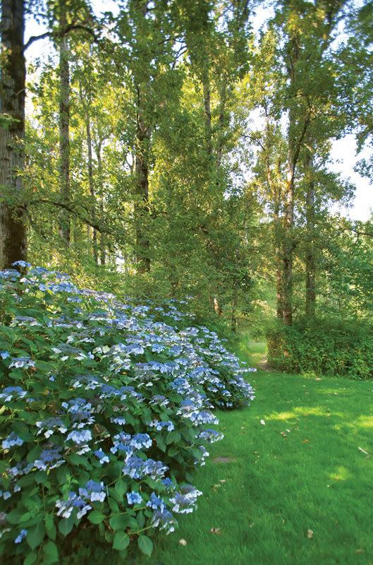 Shire blue hydrangeas hltbbx