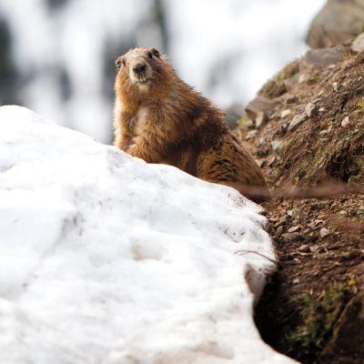 Olympic park marmot l1kebr