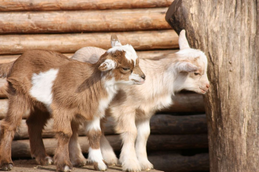 Goats 49172 1280 qwhfnh