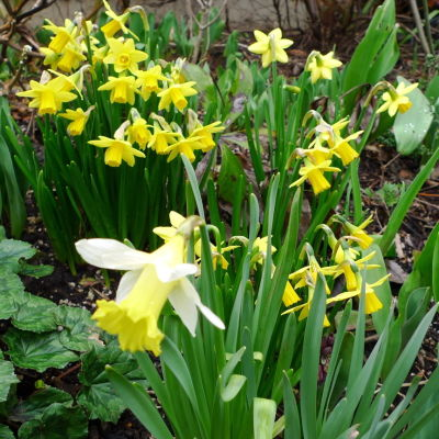 Narcissus ee2zls