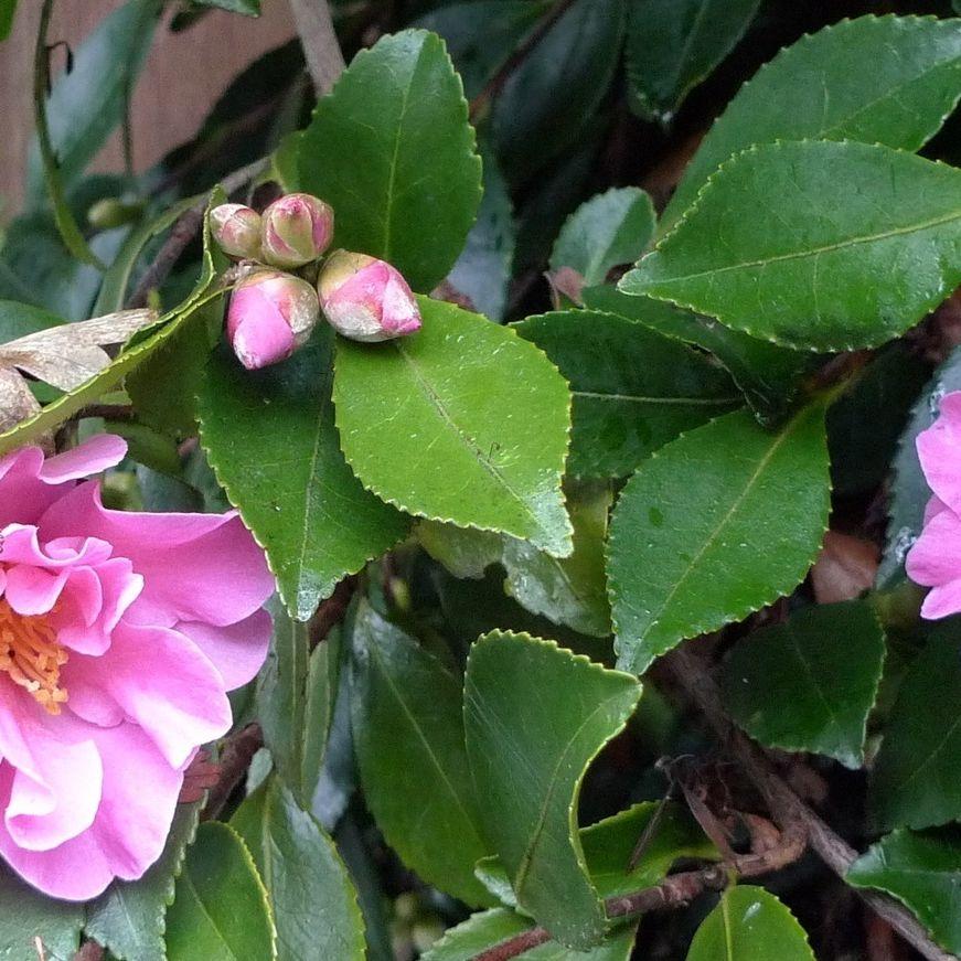 Camelliasasanqua wcwerl