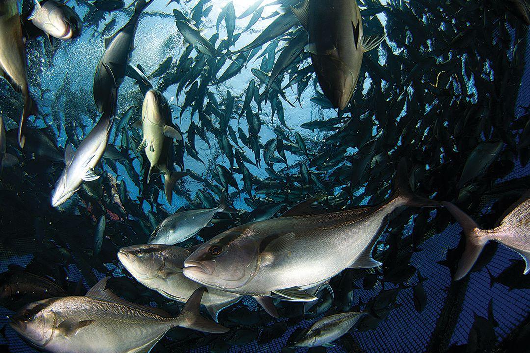 Kampachi in an Ocean Era fish pen