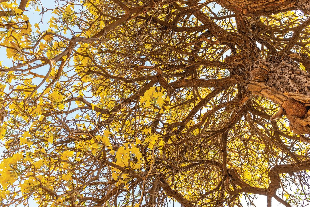 A silver trumpet tree (Tabebuia aurea)