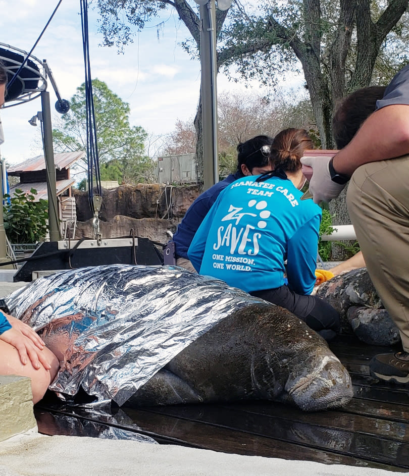A manatee rescued on Jan. 14 arrives at ZooTampa's David A. Straz Jr. Manatee Critical Care Center.