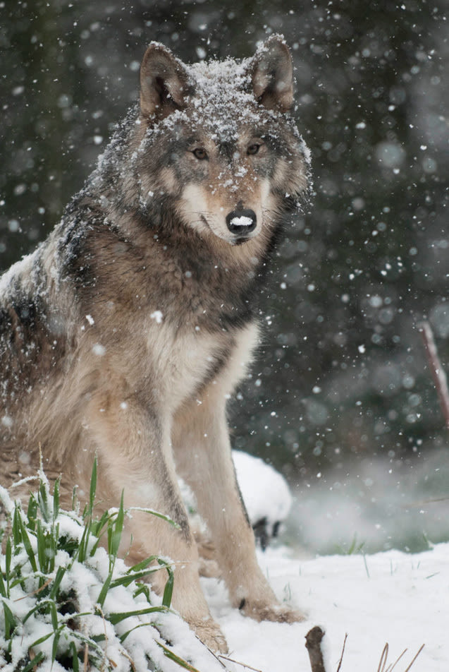 01 056 winterfun 44wolf n807wf