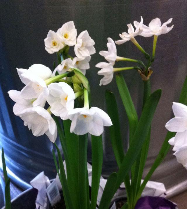 Narcissus paper whites aqqavf