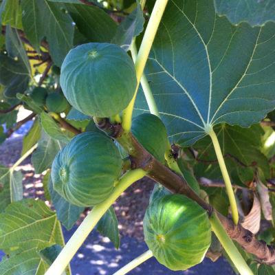 Figs on tree hc3ei1