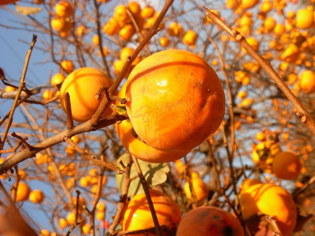 Persimmons photo from pixabay lkvwxt