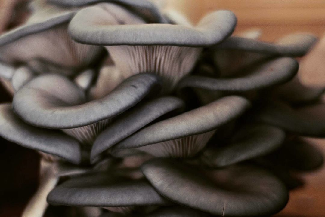 A close-up of the blue oyster mushrooms