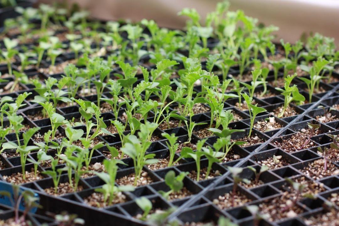Kale seedling ptpawj