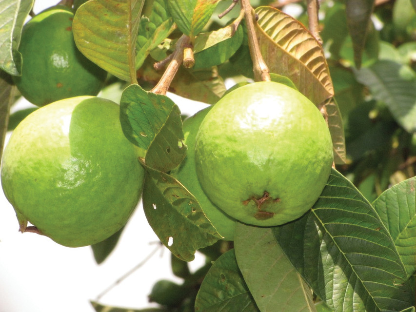 Nine Fruiting Trees and Plants for the Florida Home
