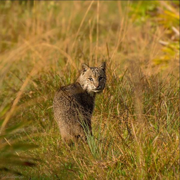 Bobcat 52215 qfto8v
