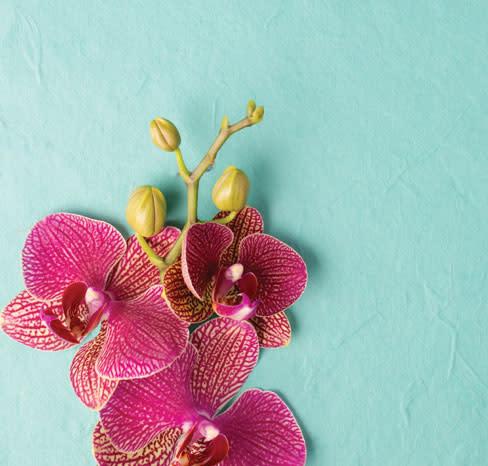 Hi opener orchid wys5xd
