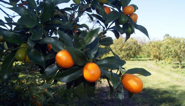 Kumquatontrees600x sm qm57jm