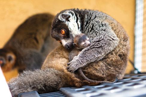 Lemurs1 pqa17f