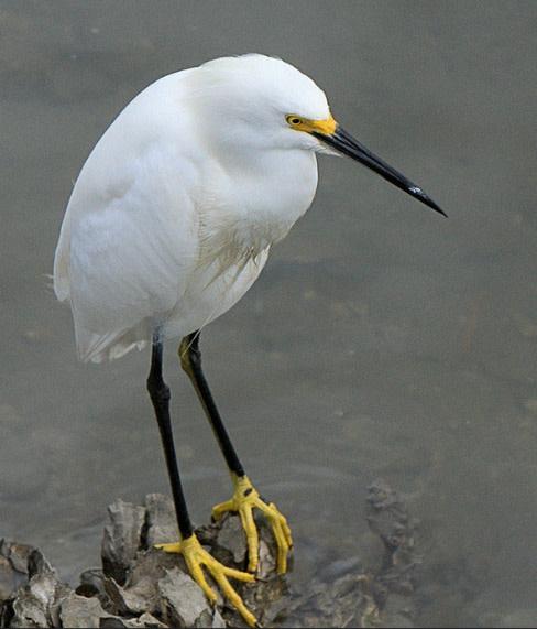 Snowy egret final wlg0ic