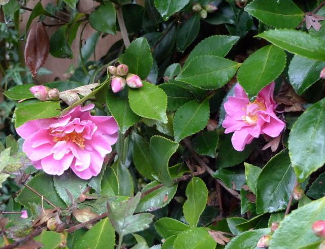 Six Fabulous Winter Flowering Plants Portland Monthly