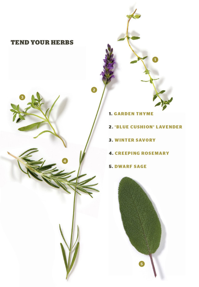 herbal infusion | portland monthly rosemary herb diagram