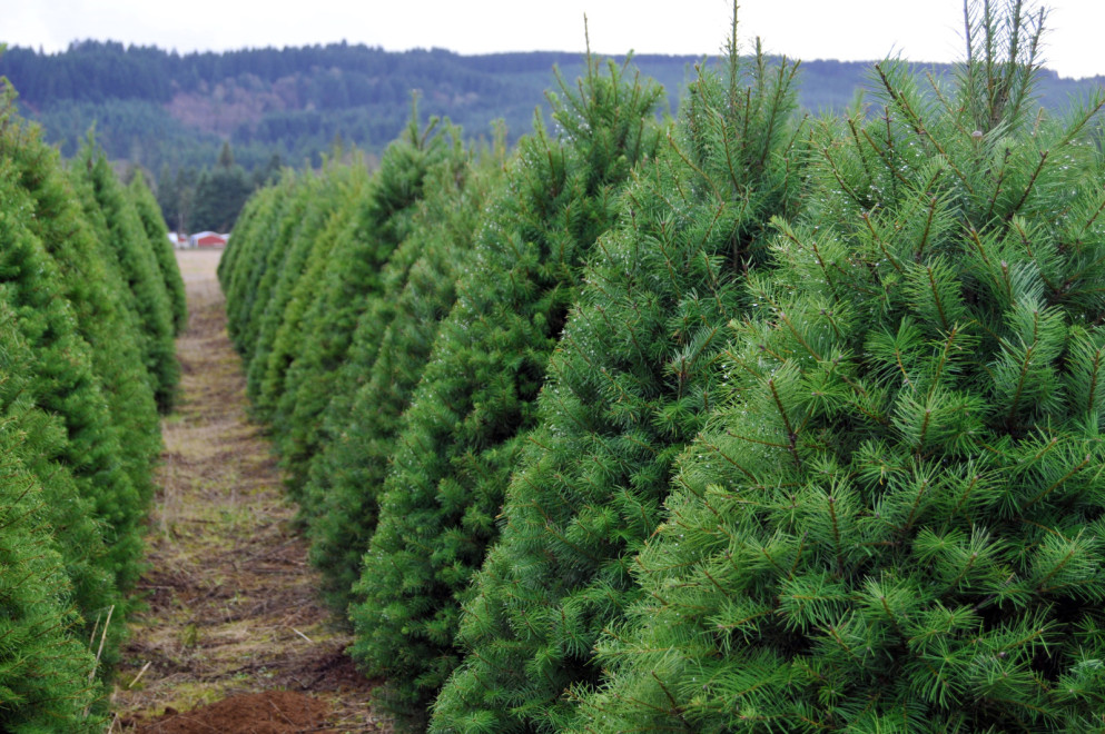 The Ultimate Guide to U-Cut Christmas Tree Farms ...