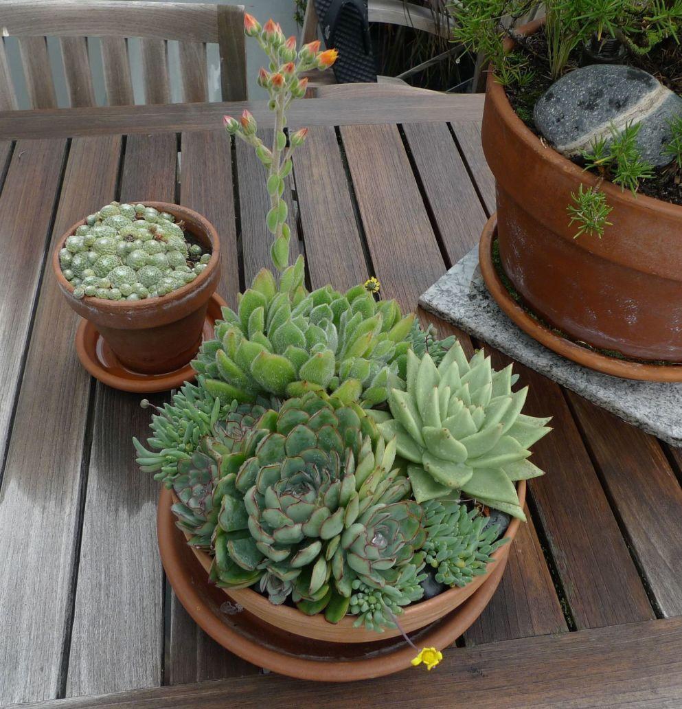 Echeveria In Bowl With Sempervivum
