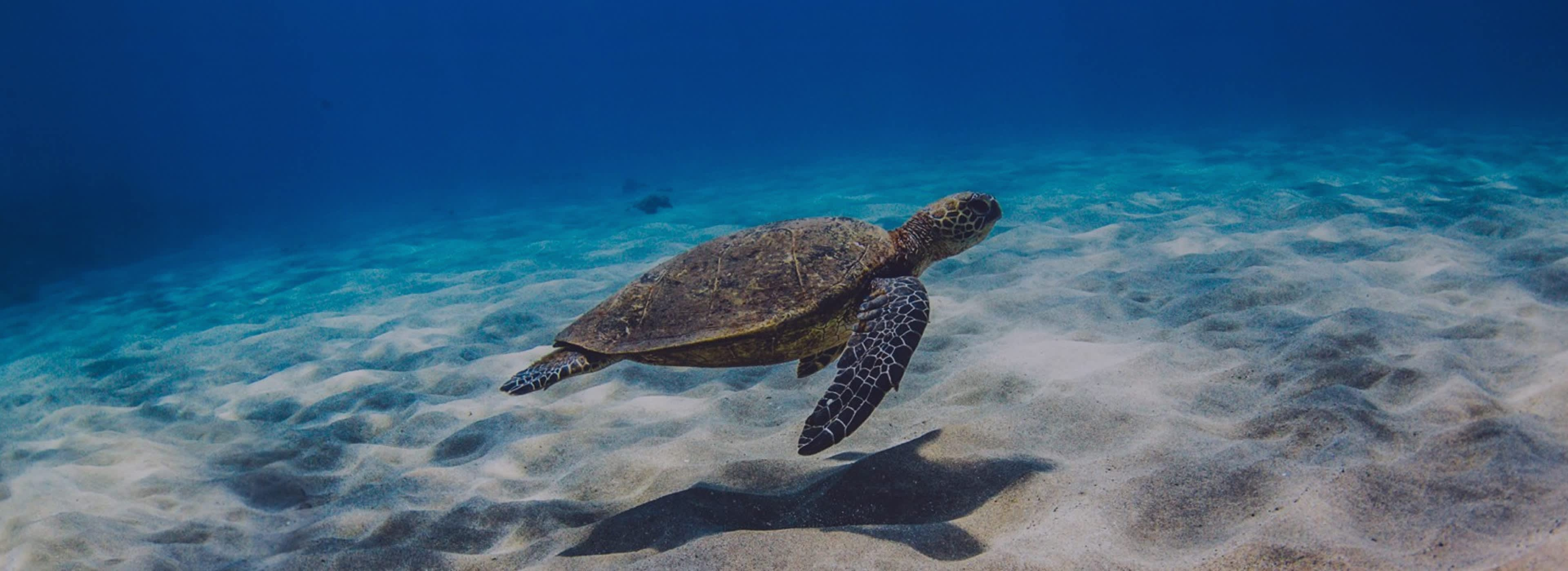 green sea turtle floating