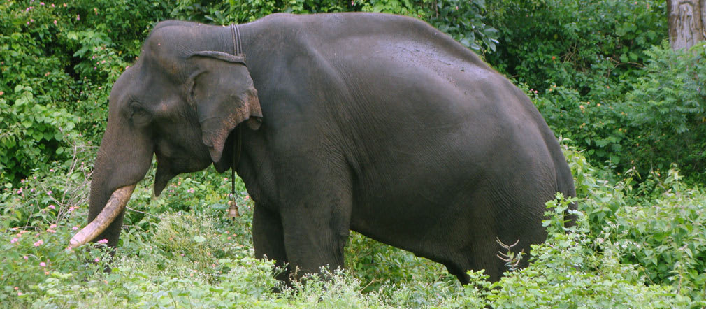 Bandipur_Tiger_Reserve_Elephant3_Bell