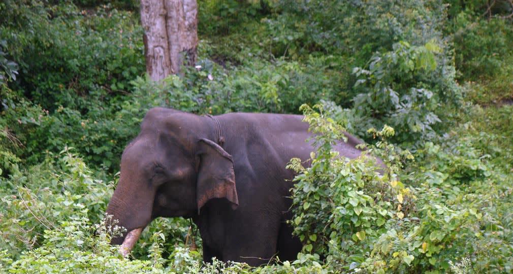 Bandipur_Tiger_Reserve_Elephant