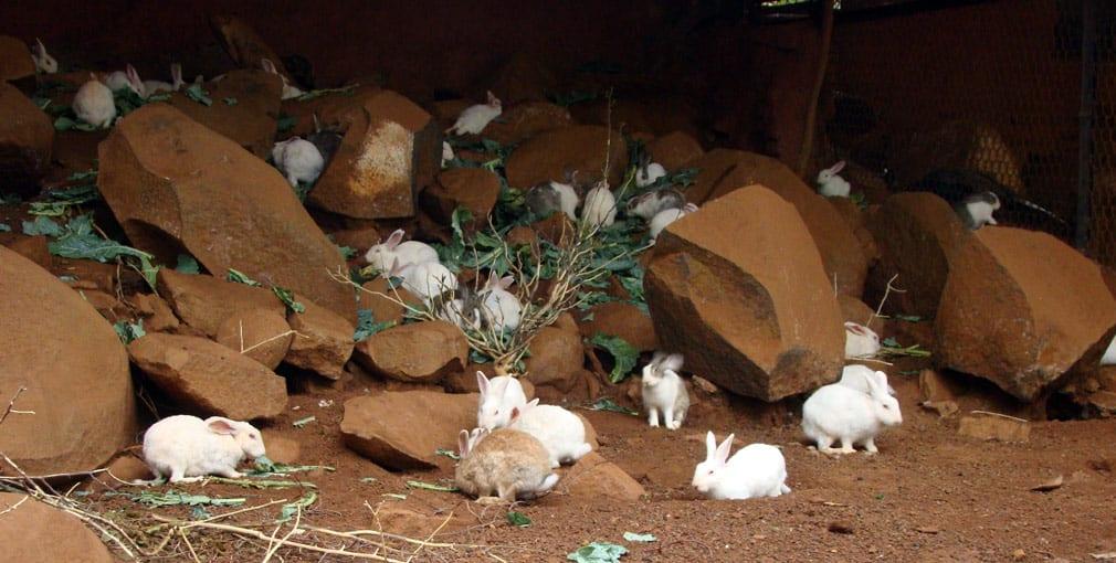 Horsley_Hills_Animal_Complex_Rabbits