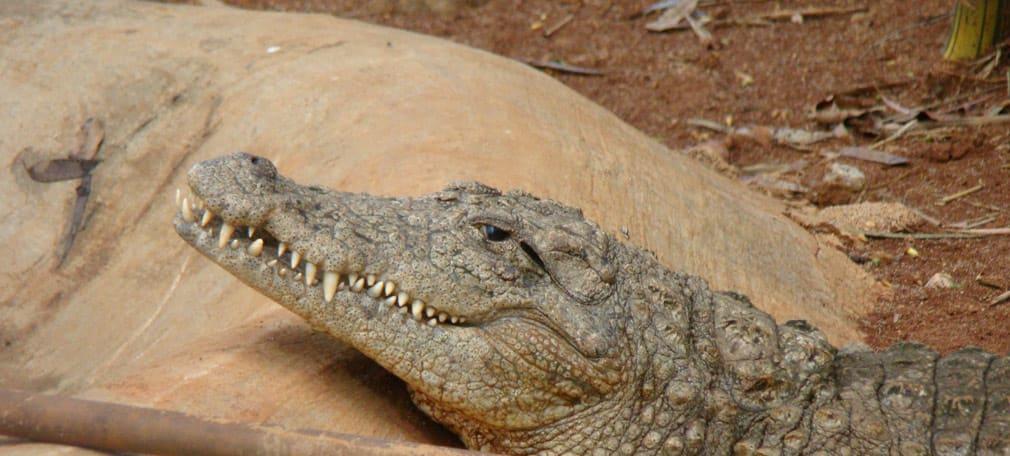Horsley_Hills_Animal_Complex_Marsh_Crocodile_Troll