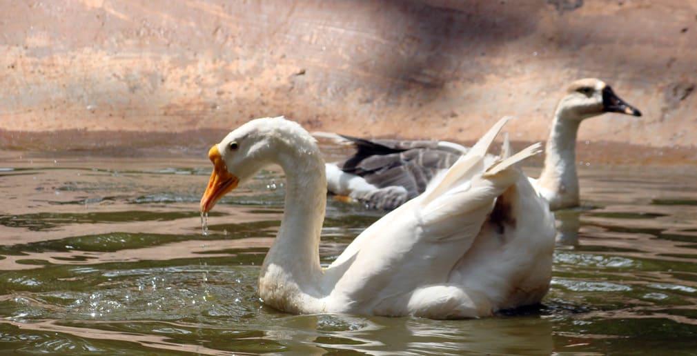 Horsley_Hills_Animal_Complex_Ducks_2