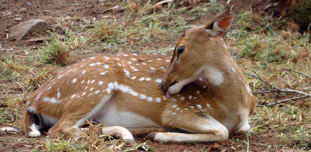 Horsley_Hills_Animal_Complex_Deer