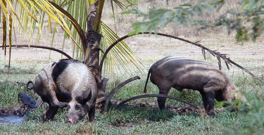 Pigs_Animal_Farm