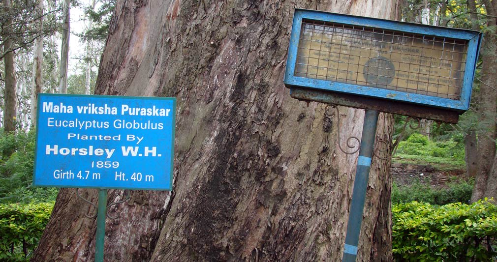 Horsley_Hills_Maha_Vriksha_Puraskar_Eucalyptus_Tree