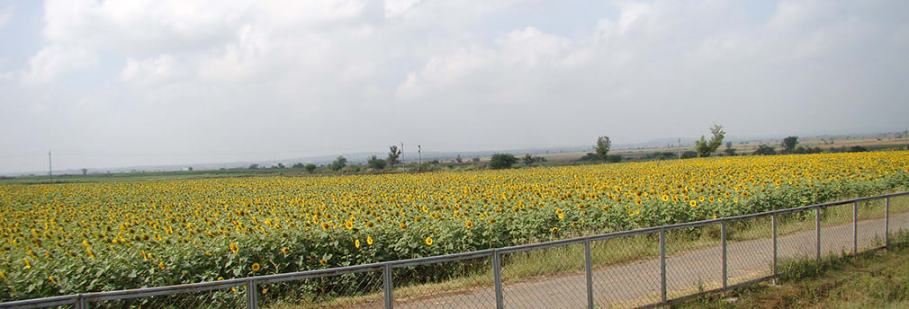 Sunflowers_NH4_Highway
