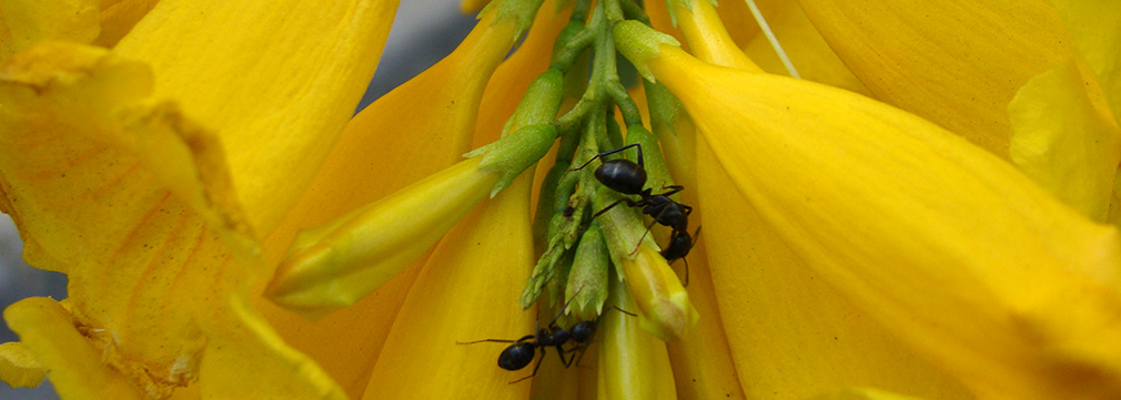Roadside_Wildlife_Yellow_Elder_Ants