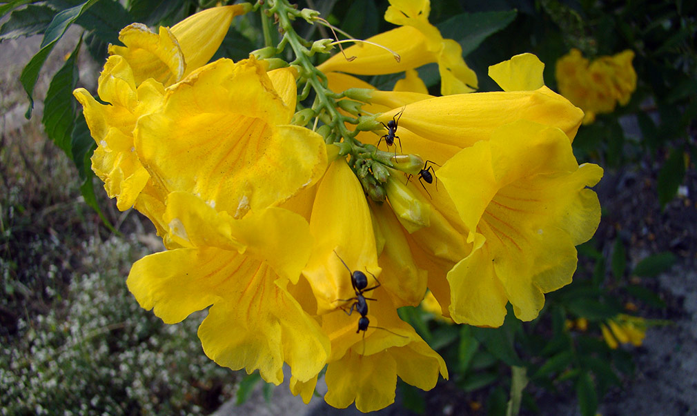 Yellow_Elder_Flower_Ants