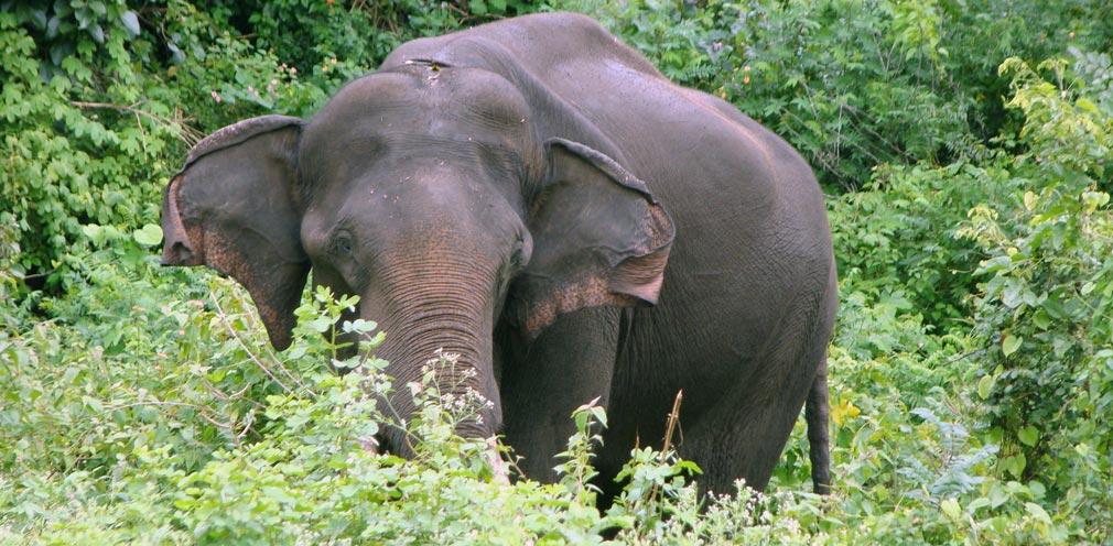 Bandipur_Tiger_Reserve_Elephant2