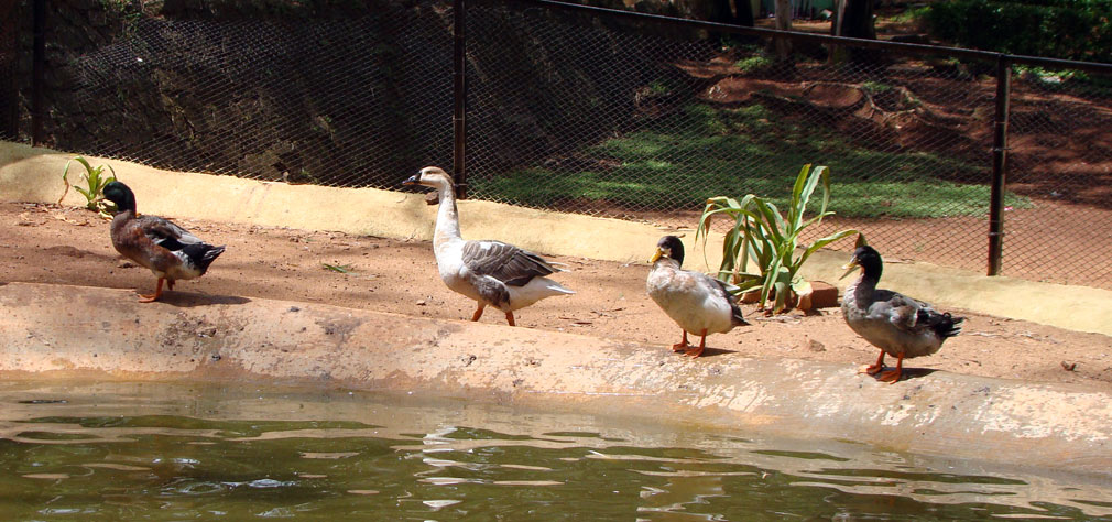 Horsley_Hills_Animal_Complex_Ducks