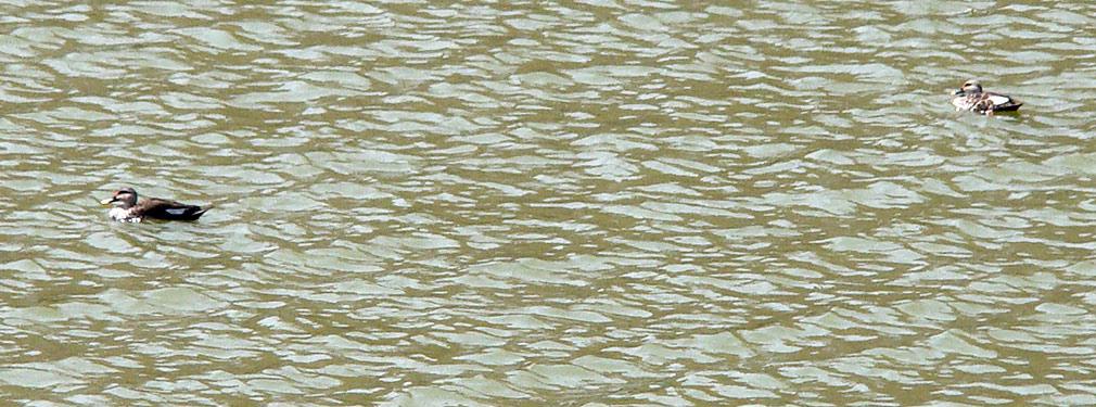 Spot_the_Ducks
