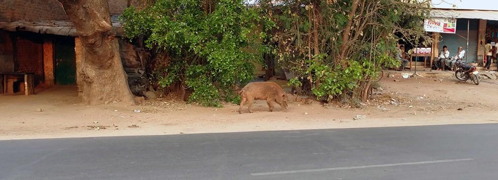 Pig_Again