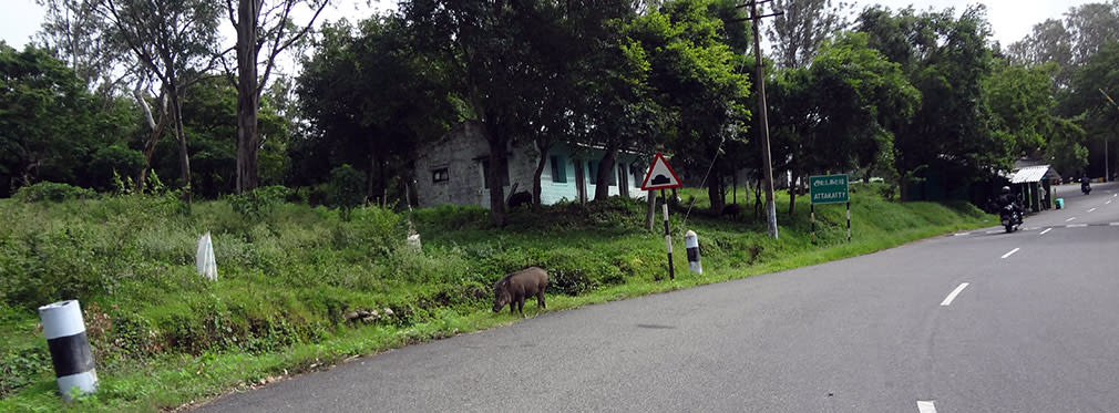 Valparai_to_Attakatti_Piggy