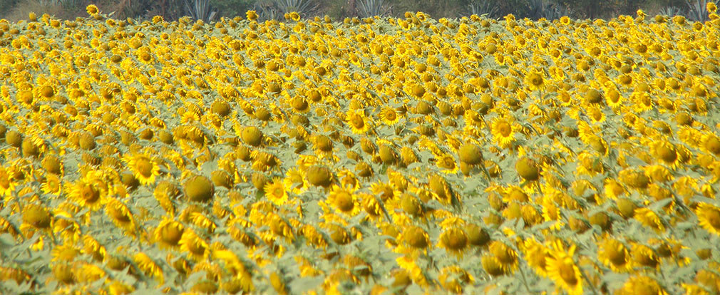 Sunflowers_NH4_Highway_3