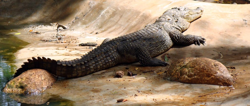 Horsley_Hills_Animal_Complex_Marsh_Crocodile