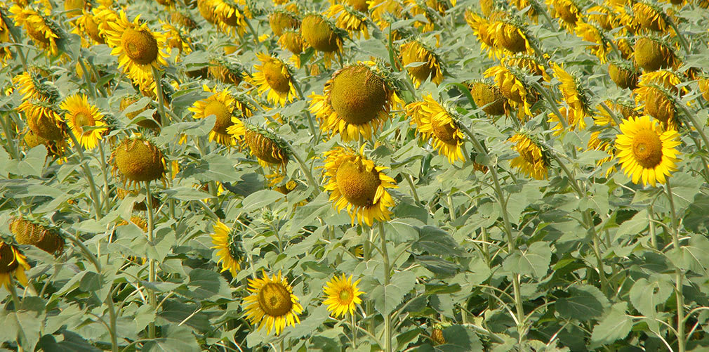 Sunflowers_NH4_Highway_2
