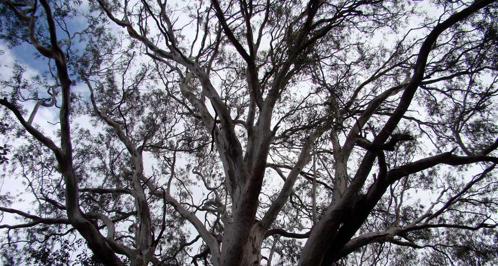 Horsley_Hills_Maha_Vriksha_Puraskar_Eucalyptus_Tree_2