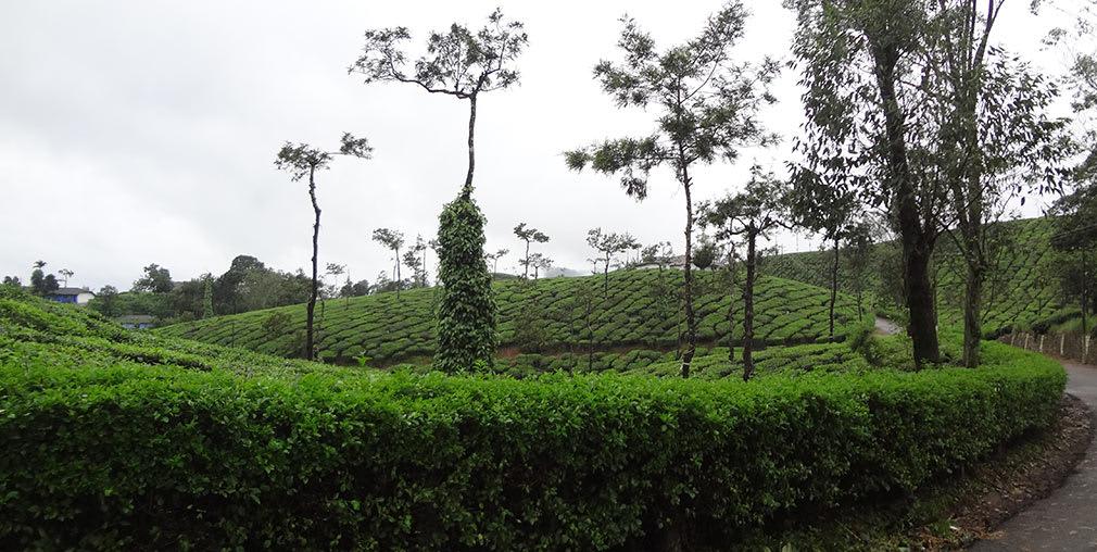 Back_to_tea_plantations_towards_Valparai