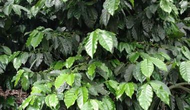 Coffee-wilson-burgos-finca-la-loma