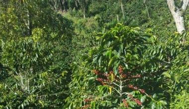 Coffee-finca-genesis-coe-19